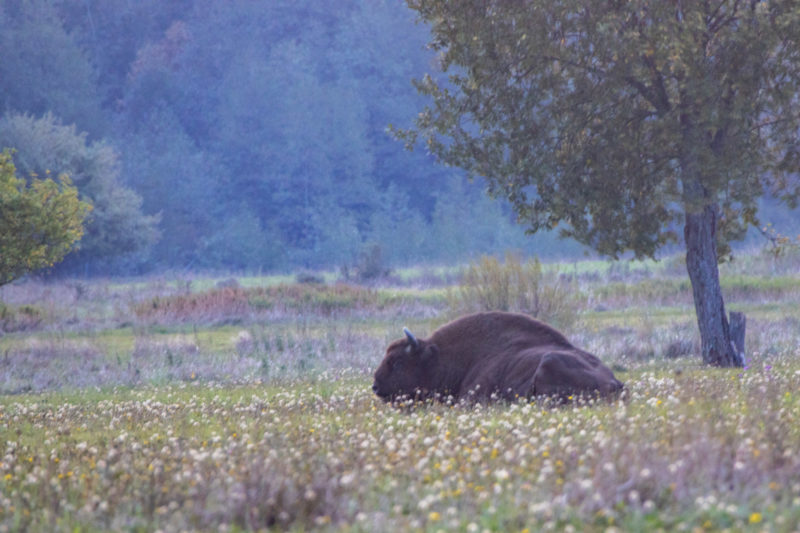 2020-10-04_06-12-33_Wisent_IMG_5630-1600