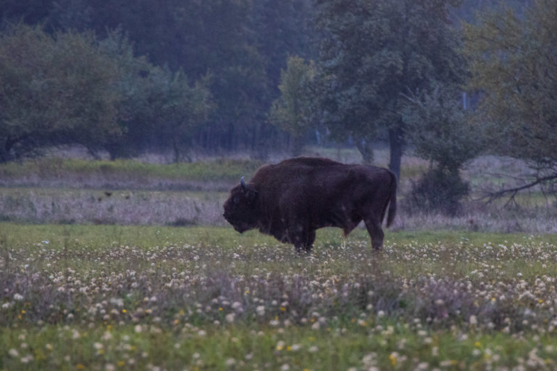 2020-10-04_06-14-02_Wisent_IMG_5641-1600