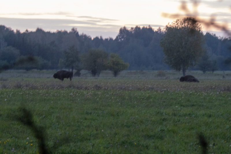 2020-10-04_06-14-16_Wisent_IMG_5646-1600