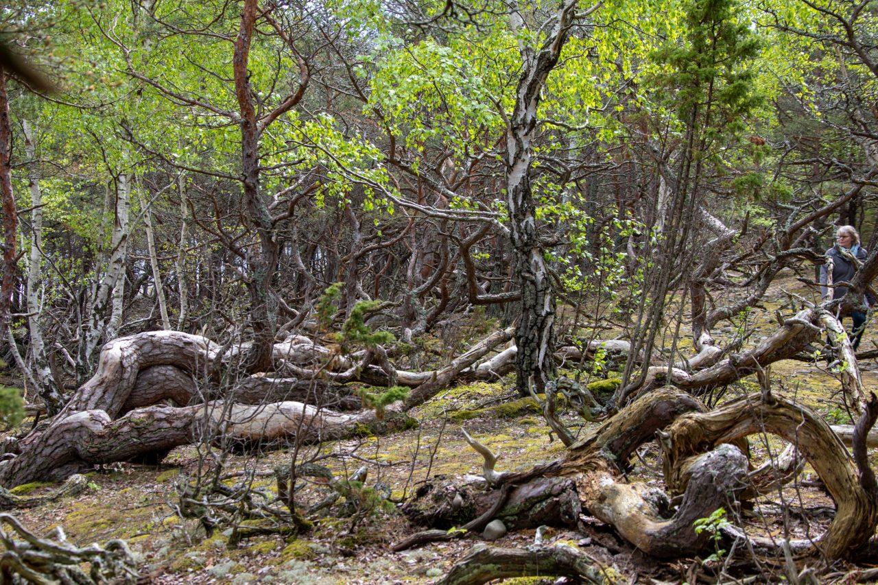 Öllands verwunschene Wälder