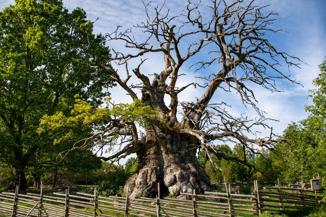der älteste Baum Schwedens stirbt